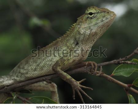 Gecko, Scincidae - stock photo
