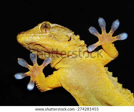 gecko shows his ten adhesive fingers - stock photo