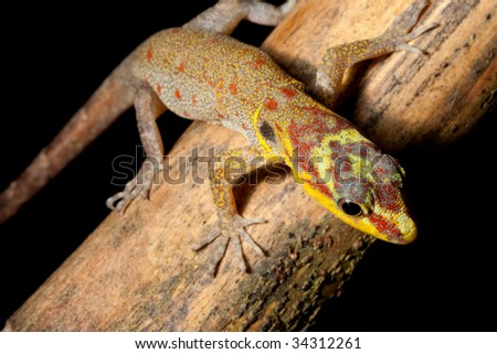 gecko with colored head Gonatodes humerales lizard in Brazil amazon rain forest beautiful animal bright colors exotic tropical reptile at night on branch