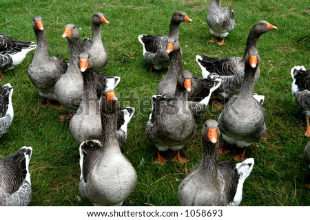 Geese - stock photo