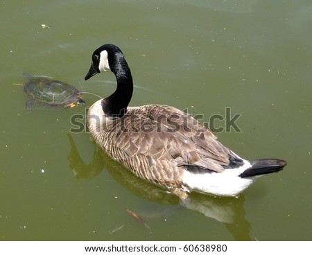 Geese and Turtle on Oakbank Pond in Thornhill Ontario, Canada - stock photo