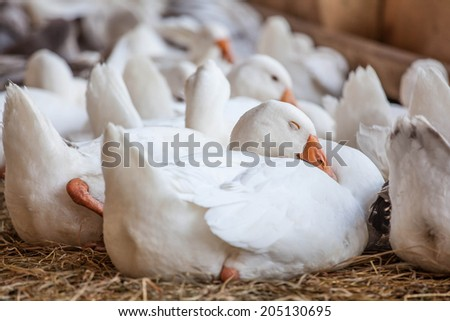Geese at a farm  - stock photo