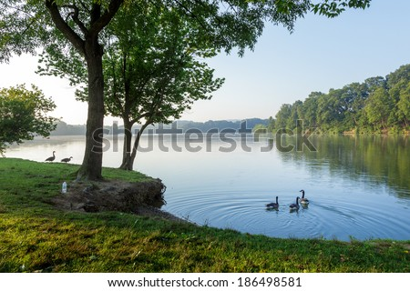 Geese by the shore of a lake on a summer morning