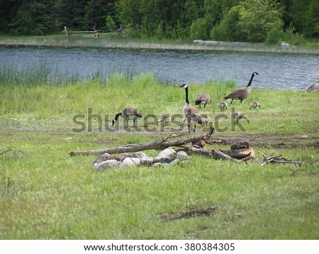 Geese camp lake scenic - stock photo