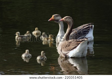 Geese floating on the river - stock photo