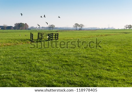 Geese flying away in a Dutch polder landscape with fences and trees. - stock photo