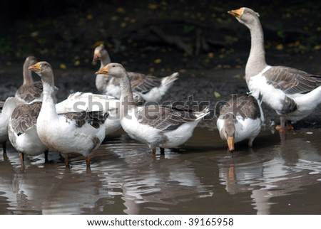 Geese in dirty puddle - stock photo