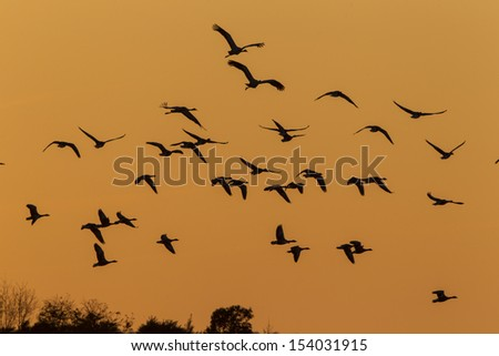 Geese in flight - stock photo
