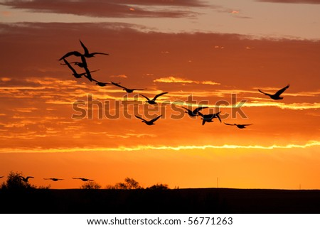 Geese in Flight on Brilliant Sky