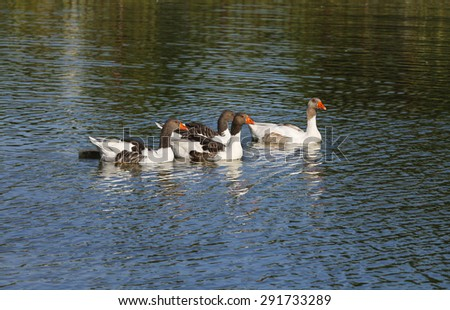 Geese swim in clean water. Parent geese with their young gosling. - stock photo