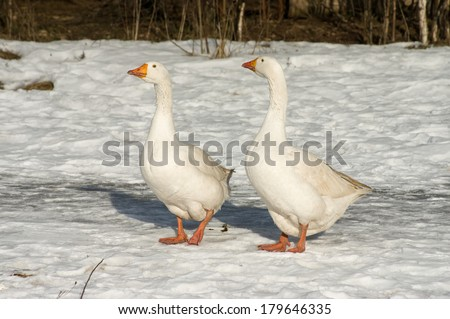 Geese walk on snow sunny winter day. - stock photo