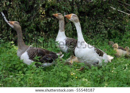 Geese walking down poultry yard - stock photo
