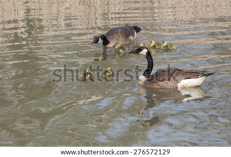 Geese with Gosling - stock photo
