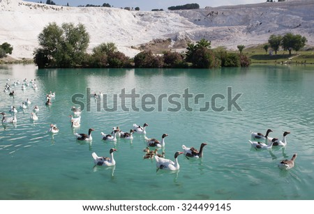 Geese with goslings on the lake, calcified limestone terraces on background, Pamukkale, Turkey - stock photo