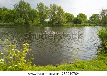 Geese with goslings swimming in a canal in spring - stock photo