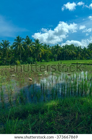 Geeses are on the rice field near Ubud on Bali - stock photo