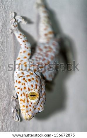 Gekko gecko - stock photo