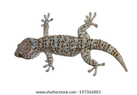 Gekko gecko isolated on white background  - stock photo