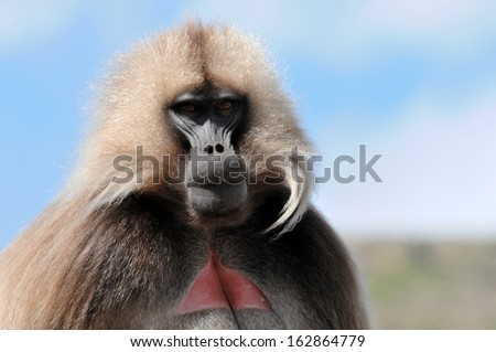 Gelada Baboon - stock photo