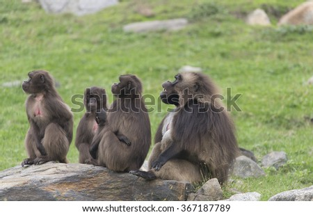 Gelada Baboon Family - stock photo