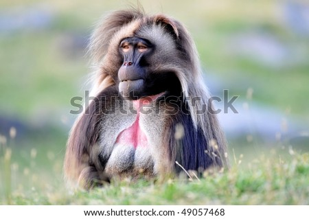 Gelada Baboon: Theropithecus gelada - stock photo