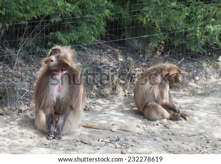 Gelada Baboons couple with problems - Theropithecus gelada - stock photo