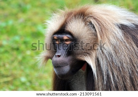 Gelada Baboons (Theropithecus gelada)-portrait - stock photo