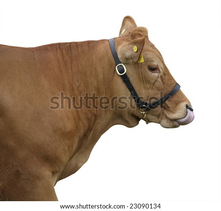 Gelbvieh Cow licking her nose isolated with clipping path - stock photo