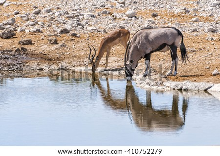 Gemsbok and Springbok at the water pool in Etosha national park in Namibia. The park spans an area of 22,270 square kilometres and is home to hundreds of species of mammals, birds and reptiles.  - stock photo