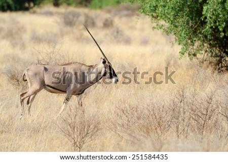 Gemsbok antelope (Oryx gazella) in park. Kenya, South Africa - stock photo