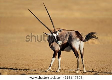 Gemsbok antelope (Oryx gazella), Kalahari desert, South Africa - stock photo