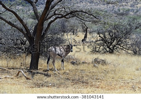 Gemsbok antelope (Oryx gazella) running. Kenya. Africa. - stock photo