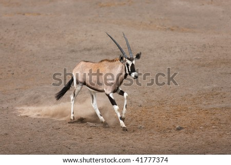 Gemsbok calf running over sandy soil in Etosha