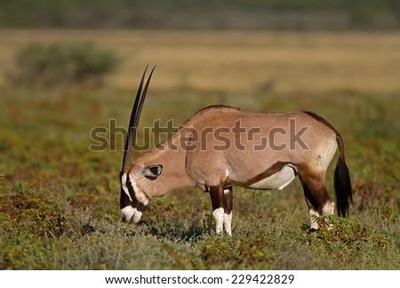 Gemsbok grazing on shrubs;oryx gazella - stock photo