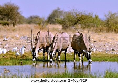 Gemsbok in Etosha, Namibia - stock photo