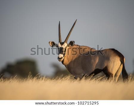 Gemsbok in long grass - stock photo