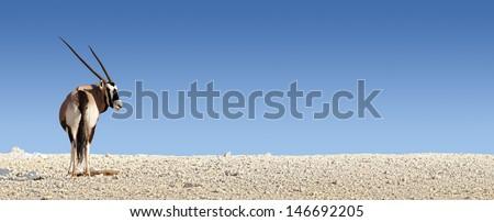 Gemsbok on white rocky soil ( Oryx gazella) - Kalahari -  South Africa - stock photo