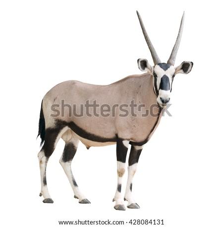 gemsbok or oryx gazella isolated on white background - stock photo