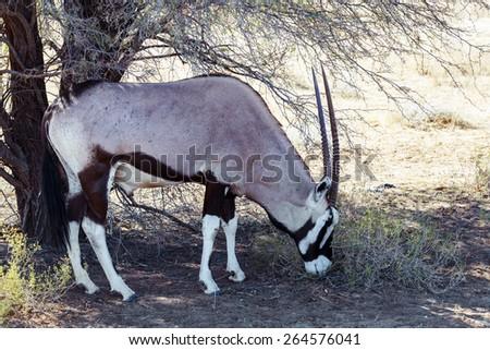 Gemsbok, Oryx gazella,dominant Gemsbok antelope in the park, Kgalagadi, South Africa - stock photo