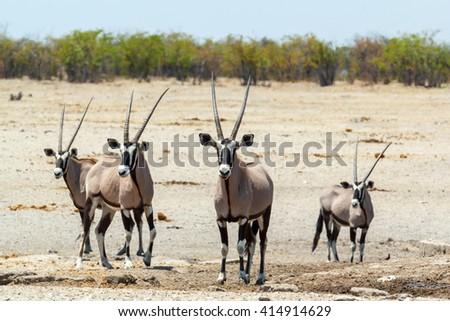 Gemsbok, Oryx gazella in savanna, dominant Gemsbok antelope in the park, Etosha, Namibia - stock photo