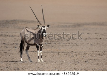 Gemsbok,  Oryx gazella, single mammal, Namibia,  August 2016