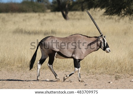 Gemsbok (Oryx gazella) walking