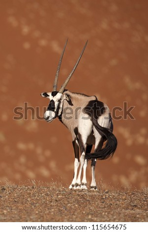 Gemsbok oryx in Namib desert - stock photo