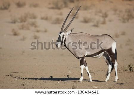 Gemsbok oryx in the Kalahari Desert, South Africa - stock photo