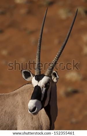 Gemsbok oryx in the red dunes of Sossusvlei, Namibia - stock photo