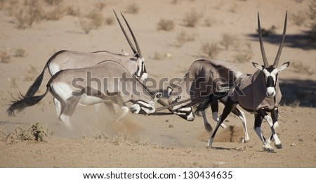 Gemsbok oryxes fighting in the Kalahari Desert, South Africa
