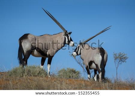 Gemsbok oryxes in red dunes of the Kalahari Desert - stock photo