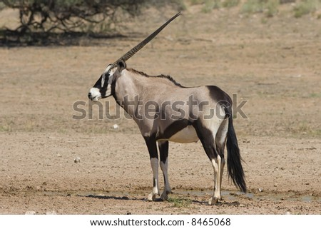 Gemsbok standing on the open plain in the Kalahari