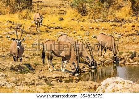 Gemsboks drinking in a puddle, Ethosa National Park, dry season, Namibia South Africa. . - stock photo