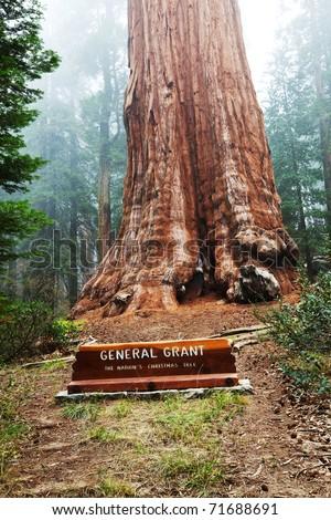 General Grant sequoia tree - stock photo